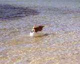 Dog Chasing Fish