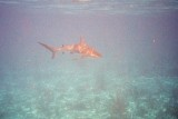 Shark Coming In