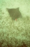 Swimming with tagged Eagle Ray