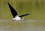 blackwinged_stilts