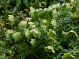 Wet Hellebores (Lenten Rose)