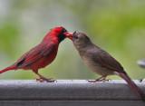 IMG_3362 Male cardinal feeding female