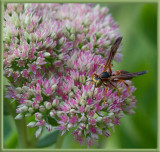 IMG_4294 paper wasp