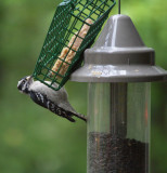 IMG_4377 Downy Woodpecker