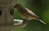 P9210012 female house finch