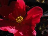 P9300072 Tuberous Begonia Blossom