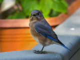 DSC01033 bluebird notices me