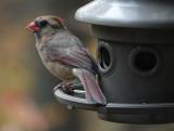 DSC01279 female cardinal