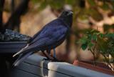 DSC01288 crow