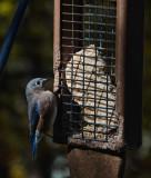 DSC01091 bluebird on suet