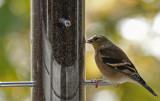 DSC01217 Goldfinch