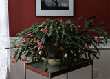 DSC01983 Schlumberga - Thanksgiving Cactus