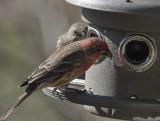 DSC02344 Male House Finch