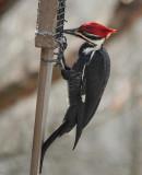DSC03131 Male Pileated Woodpecker