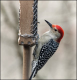 DSC03819_Red Bellied Woodpecker