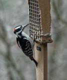 DSC04292_DxO Hairy Woodpecker