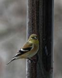 DSC04299_DxO goldfinch