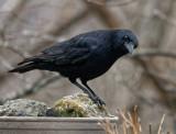 DSC04401_DxO Aware Crow