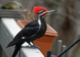 DSC04394_DxO pileated woodpecker on railing