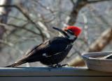 DSC04588_DxO Infinitely Fascinating Pileated Woodpecker