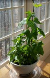 Sweet Potato Plant