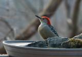 DSC05151 Red Bellied Woodpecker