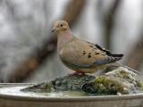 DSC05465_DxO dove in rain