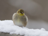 IMG_4971 Very cold goldfinch
