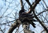 DSC06005 crow in tree