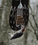 DSC06475 red bellied woodpecker