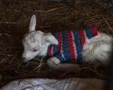 Visiting the Connemara Goats