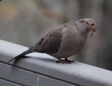 DSC00333 Mourning doves are among the most charming of birds