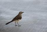 DSC00592 Mockingbirds are hard to capture