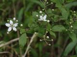 DSC01773 berry blossoms