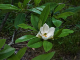 DSC01784 It's a young magnolia!