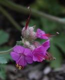 DSC01833 wild (?) geranium