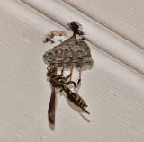 DSC0208 Paper Wasp