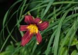 DSC02363 lily