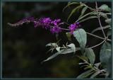 Butterfly Bush - buddleia
