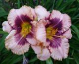 Lowe's Bargain Daylilies