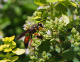 PZ090009 Great Golden Digger Wasp