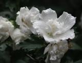DSC03261 Rose of Sharon