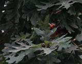 DSC03345 I heard some birds in an oak tree