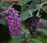 DSC03532 Black Swallowtail Butterfly