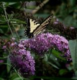 DSC03621 Yellow Swallowtail