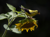 Goldfinches Discover the Sunflowers