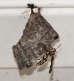 Paper Wasp Tending Larvae