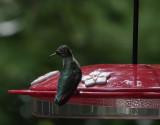 DSC04623 Hummingbirds are so alert!