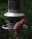 DSC05273 Molting Cardinal
