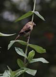 DSC05292 female goldfinch